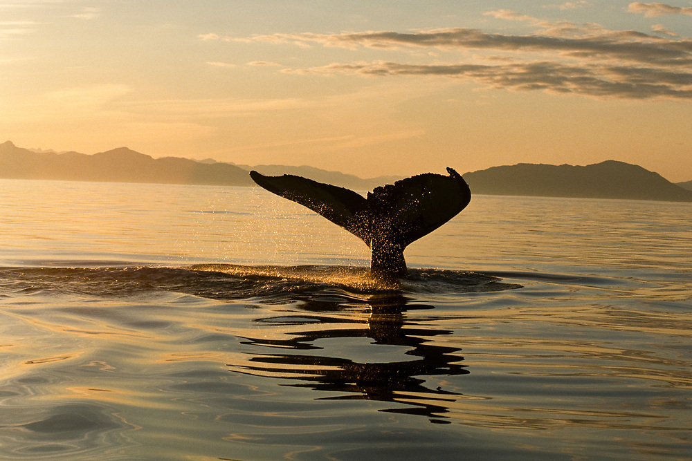 Alaska. Southeast. Fredrick Sound. Humpback Whale (Megaptera novaeangliae).