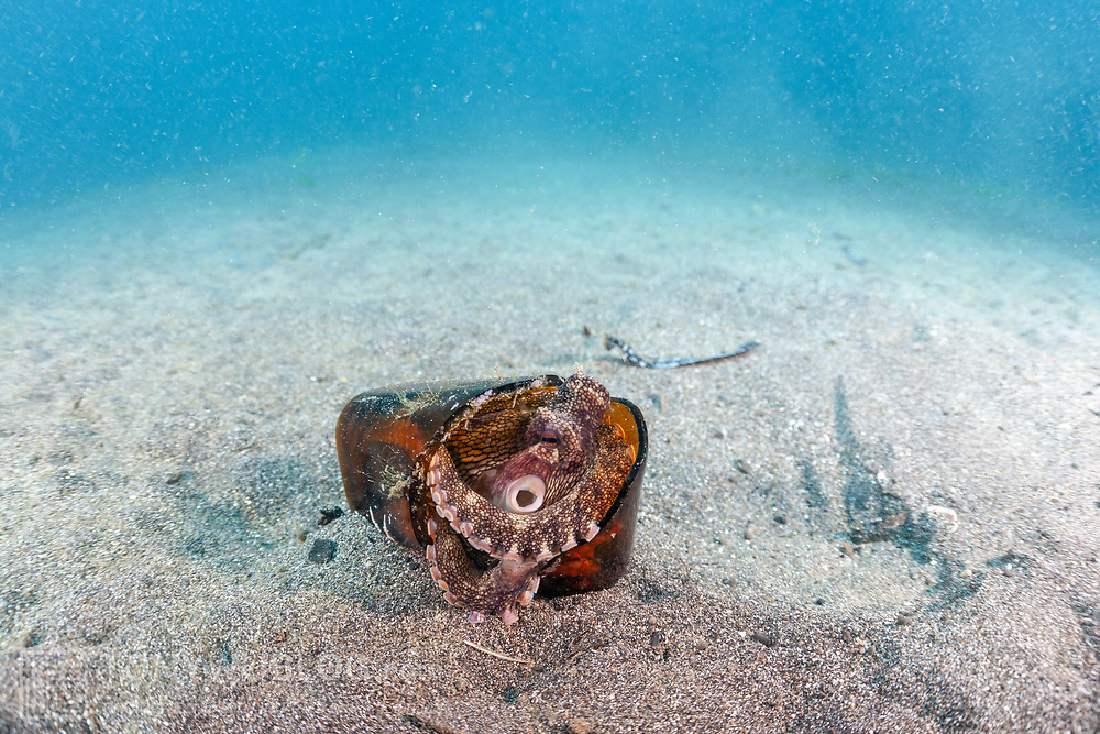 This sequence depicts a veined octopus (Amphioctopus marginatus) using a broken bottle as a portable shelter. The octopus was carrying a small crab that it had caught for a meal. Image 1 in a series of 15.