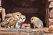 Three barn owlets (Tyto alba)  huddle together in their ledge nest inside the Abo Mission Ruins, Salinas National Monument, New Mexico.