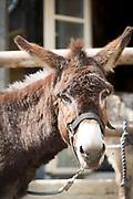 Close up of donkey (Equus asinus) looking at camera, Santa Reparata di Balagna, Corsica, France