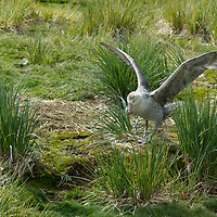 A Southern Giant Petrel lands nears its nest on Prion Island, Bay of Isles, South Georgia, Antarctica.