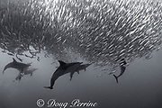 long-beaked common dolphins, Delphinus capensis, feed on sardines, Sardinops sagax, during the Sardine Run along the Wild Coast of the Transkei District of South Africa in the Indian Ocean; the dolphins have herded the fish into a bait ball for easier feeding