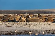 Walrus colony at Phippsisland, Spitzbergen   Hvalross koloni ved Isflakbukta, Phippsøya, Svalbard.