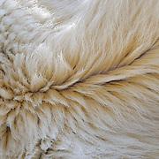 The underbelly fur of a large male polar bear. Kaktovik, Alaska