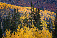 Aspens among the pine trees create a beautiful golden dark contrast on the hills of Utah's Wasatch Mountains.