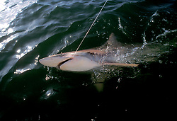 Stock photo of landing a blacktip shark(Carcharhinus limbatus) in the Gulf of Mexico
