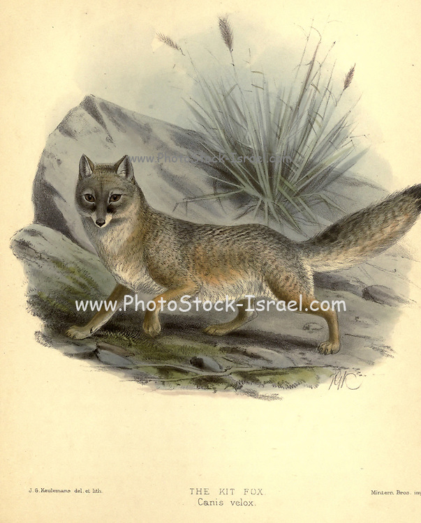 """The kit fox (Vulpes macrotis [here as Canis velox]) is a fox species of North America. Its range is primarily in the Southwestern United States and northern and central Mexico. Some mammalogists classify it as conspecific with the swift fox, V. velox, but molecular systematics imply that the two species are distinct. It has also been called an American Fennec fox due to its large ears From the Book Dogs, Jackals, Wolves and Foxes A Monograph of The Canidae [from Latin, canis, """"dog"""") is a biological family of dog-like carnivorans. A member of this family is called a canid] By George Mivart, F.R.S. with woodcuts and 45 coloured plates drawn from nature by J. G. Keulemans and Hand-Coloured. Published by R. H. Porter, London, 1890"""