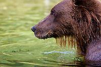 Profile of coastal brown bear in Katmai National Park and Preserve, SW Alaska, summer