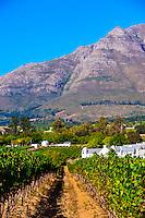 Vineyards at harvest time, Kleine Zalze Wines, Stellenbosch, Cape Winelands, South Africa.
