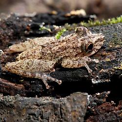 """""""Pererequinha-da-bromélia (Scinax argyreornatus) fotografado em Guarapari, Espírito Santo -  Sudeste do Brasil. Bioma Mata Atlântica. Registro feito em 2007.<br /> <br /> ENGLISH: Scinax Tree Frog photographed in Guarapari, Espírito Santo - Southeast of Brazil. Atlantic Forest Biome. Picture made in 2007."""""""