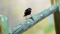 Inquisitive Male Red-Winged Blackbird on a Wooden Fence at Windy Gap Wildlife Viewing Area in Colorado. Image taken with a Nikon D3 and 80-400 mm VR lens (ISO 200, 340 mm, f/8, 1/250 sec).