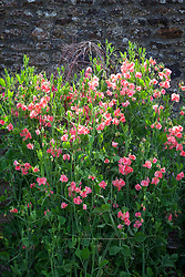 Lathyrus odoratus 'Maloy'. Sweet pea growing up a birch support in the trials bed at Parham House