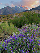 Lupine and Mount Williamson at Sunset, Inyo National Forest, California