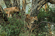 Alert and threatening lionesses in tree. Photographed at Lake Manyara National Park. Home of the tree climbing lions, Arusha, Tanzania