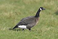Lesser Canada Goose - Branta canadensis parvipes