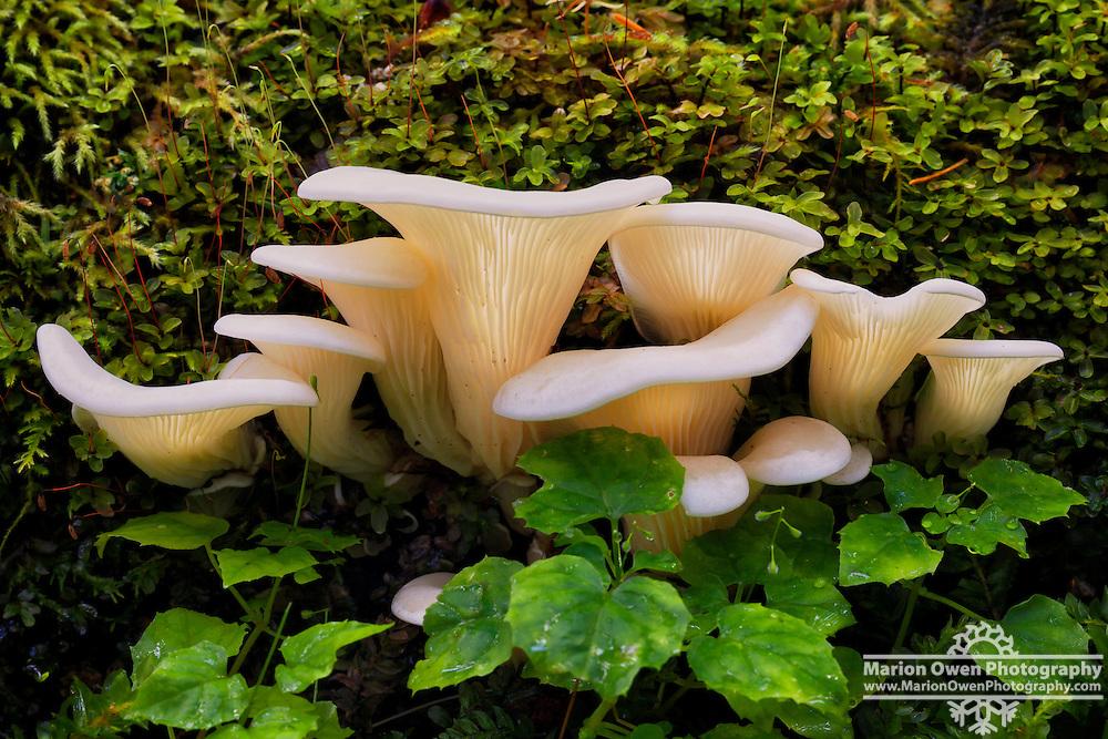 Angel wing mushrooms, Pleurocybella porrigens, a species of fungus in the Marasmiaceae family, growing on a log in Kodiak, Alaska