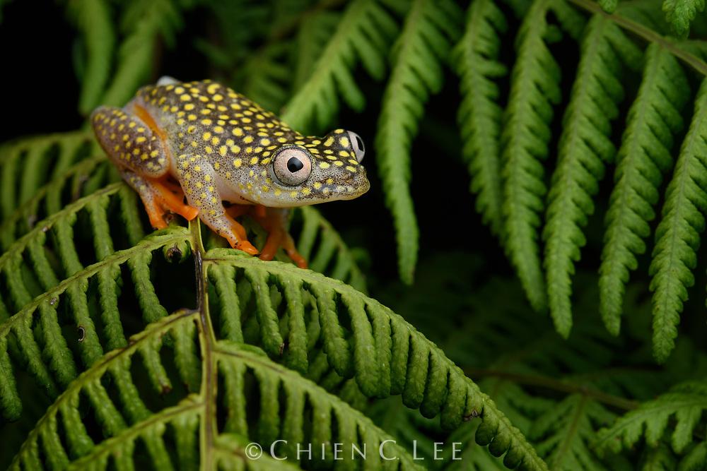 Whitebelly Reed Frog (Heterixalus alboguttatus). Ranomafana National Park, Madagascar.