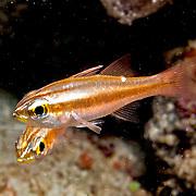 Moluccan Cardinalfish inhabit sheltered reefs. Picture taken Triton Bay, West Papaua, Indonesia.