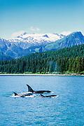 Alaska. Southeast. Lynn Canal. Orca  Killer whale (Orcinus orca) pod moves through water.