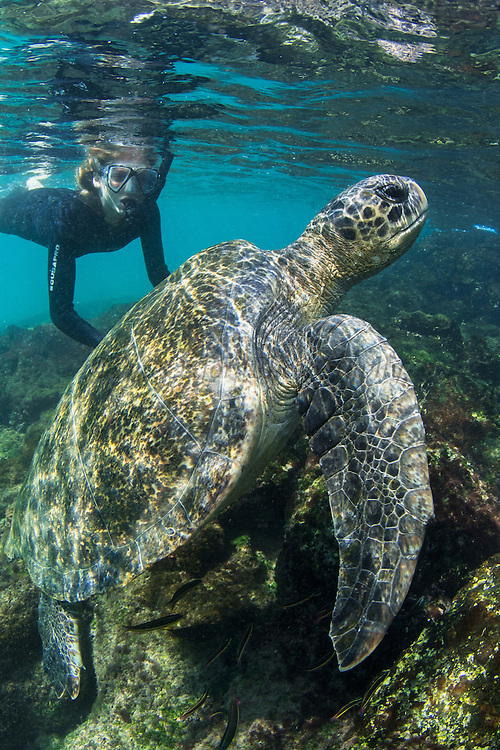 Model With Galapagos Green Turtle (Chelonia mydas agassisi)<br /> KT 013 Florencia Ceide<br /> Sullivan Bay<br /> Santiago<br /> Galapagos<br /> Ecuador, South America