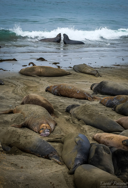 Giant seals on the beach.