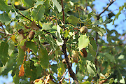 Israel, Golan Heights Palestine Oak tree (Quercus calliprinos)