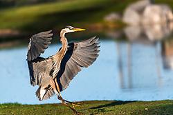Landing blue heron in the morning light - Idaho.
