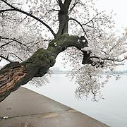 Nikon 24.0 mm f/1.4 #cherryblossoms #cherryblossomsDC