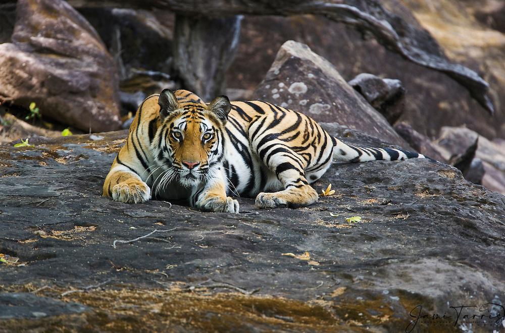 A nervous Bengal tiger (Panthera tigris tigris) laying on a rock near a water hole, looks directly into the camera, Bandhavgarh,Madhya Pradesh,India