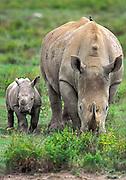 White Rhinocerus grazing with calf