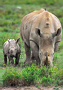 White Rhinocerus grazing with calf