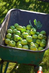 Wheelbarrow full of apples at West Dean Gardens, West Sussex. Malus domestica