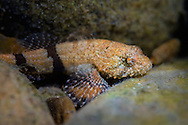 Banded Sculpin<br /> <br /> Isaac Szabo/Engbretson Underwater Photo