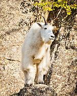 Rocky Mountain Goat in Custer, South Dakota