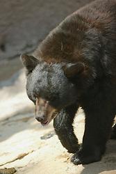 Black Bear, Los Angeles Zoo