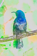 Digitally enhanced image of a Male Palestine Sunbird or Northern Orange-tufted Sunbird (Cinnyris oseus) Photographed in Israel in October
