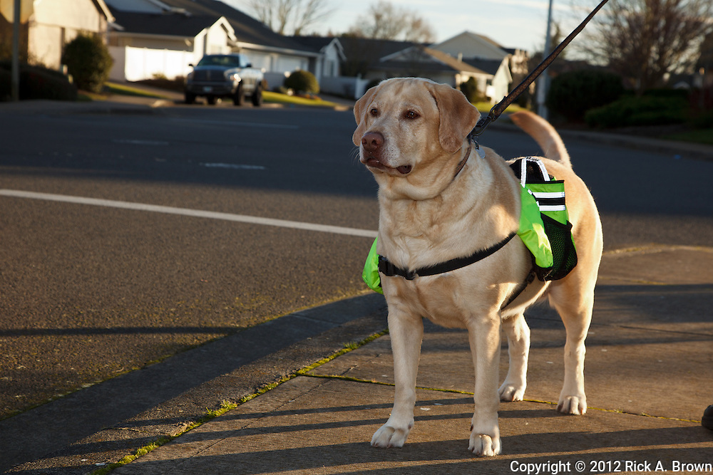 USA, Oregon, Keizer, Labrador Retriever on a walk with her backpack, PR, MR