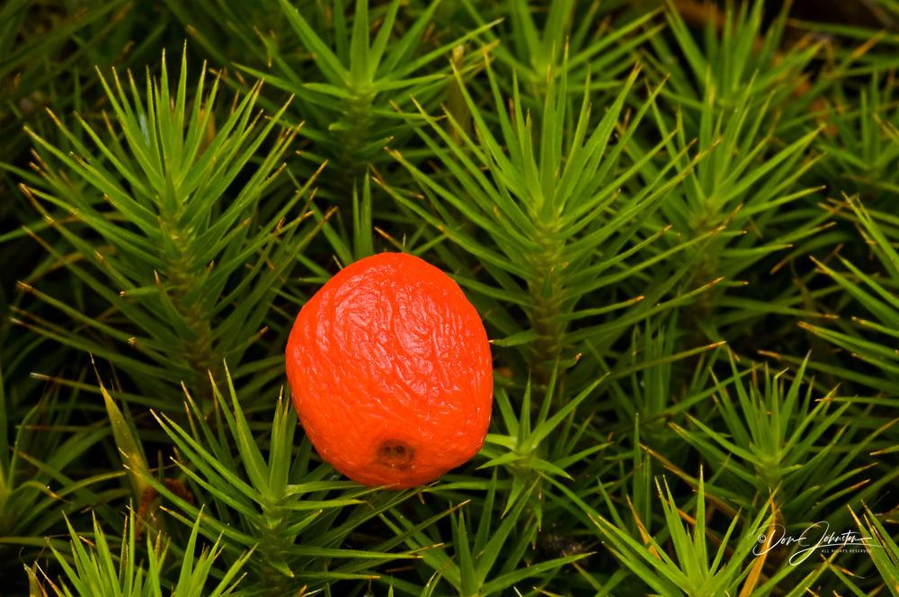 Bunchberry () Fallen berry in haircap moss, Lively, Ontario, Canada, Lively, Ontario, Canada