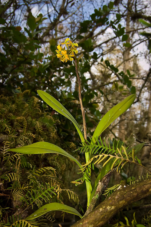 A perfect specimen of a dingy-flowered star orchid in full flower growing in the Sweetwater Strand, deep in the Big Cypress National Preserve.