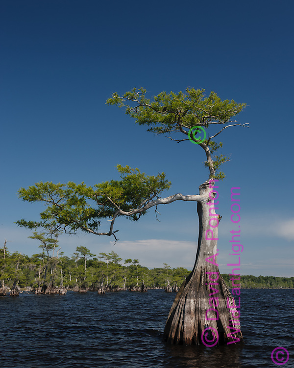 Pond cypress tree along perimeter of Blue Cypress Lake shows distinctive asymmetry as tree continued to live and grow after being damaged, © David A. Ponton