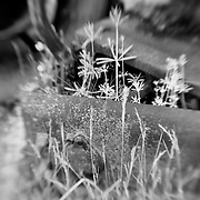 Spring From Decay - Pottsville - Merlin, Oregon - Lensbaby - Infrared Black & White
