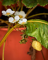 Strawberry flowers (and green strawberry). Image taken with a Nikon D5 camera and 80-400 mm VRII lens.