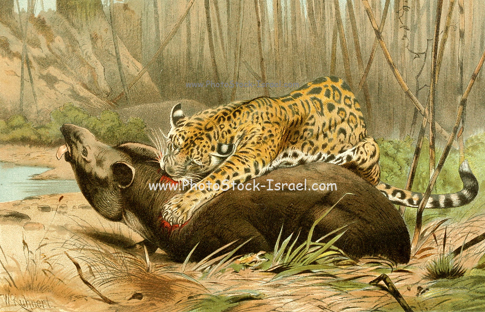 Jaguar (Panthera onca) Killing a Tapir From the book ' Royal Natural History ' Volume 1 Edited by  Richard Lydekker, Published in London by Frederick Warne & Co in 1893-1894