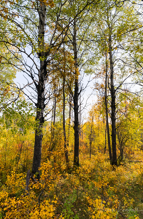 Yellow leaves and golden afternoon light in Riding Mountain National Park, Manitoba, Canada