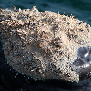 Detailed view of one of the callosities on the head of a southern right whale (Eubalaena australis). These rough bumps are populated by a number of organisms, the most prevalent of which are whale lice, seen here in great numbers. The species pictured here seems to be Cyamus ovalis. There are also barnacles and other organisms that I am unable to identify. The purpose of these callosities in unknown, as is the relationship between the whale and the organisms that make a home on and in these growths. Photographed with the permission of the Department of Environmental Affairs, South Africa.
