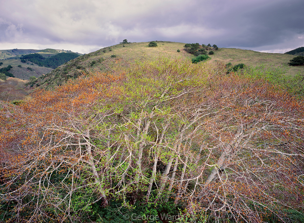 Alders in Spring,Phillip Burton Wilderness, Point Reyes National Seashore, California