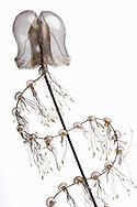 AUT, Österreich: Praya cymbiformis, Staatsqualle, dieses Glasmodell stammt aus dem Werk der naturwissenschaftlichen Glaskünstler Leopold Blaschka (1822-1895) und Sohn Rudolf Blaschka (1857-1939). Zwischen 1863 und 1890 entstanden in der Dresdner Werkstatt Tausende Glasmodelle wirbelloser Meerestiere, die ihren Weg in Museen und Universitäten der ganzen Welt fanden. Diese Nachbildungen verblüffen bis heute, denn sie sind morphologisch fehlerfrei und halten naturwissenschaftlichen Betrachtungen bis ins Detail stand - die perfekte Verschmelzung von Kunst und Naturwissenschaft. Die Blaschkas hatten keine Lehrlinge und es gibt keine weiteren Nachfahren. Vater und Sohn haben das Geheimnis ihrer einzigartigen Technik mit ins Grab genommen, Blaschka-Sammlung, Institut für Zoologie, Universität Wien | AUT, Austria: Praya cymbiformis, Siphonophora, this glass model originated from the work of the scientific glass artists Leopold Blaschka (1822-1895) and his son Rudolf Blaschka (1857-1939). Between 1863 and 1890 thousands of glass models of invertebrates sea animals developed in the workshop in Dresden, which found their way in museums and universities of the whole world. These reproductions amaze until today, because they are morphologically exact and withstand scientific examinations in detail - the perfect fusion of art and natural science. The Blaschkas didn?t have apprentices and it gives no further descendants. Father and son took the secret of their inimitable technology also in the grave, Blaschka-Collection, Institute of Zoology, University Vienna |