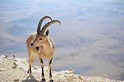 Israel, Negev, Nubian Ibex (Capra ibex nubiana AKA Capra nubiana)