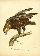 """Juvenile Bateleur (Terathopius ecaudatus) is a medium-sized eagle in the family Accipitridae. Its closest relatives are the snake eagles. It is the only member of the genus Terathopius and may be the origin of the """"Zimbabwe Bird"""", the national emblem of Zimbabwe.[2] It is endemic to Africa and small parts of Arabia. """"Bateleur"""" is French for """"street performer"""" or fool Bird of Prey from the Book Histoire naturelle des oiseaux d'Afrique [Natural History of birds of Africa] by Le Vaillant, François, 1753-1824; Publish in Paris by Chez J.J. Fuchs, libraire .1799"""