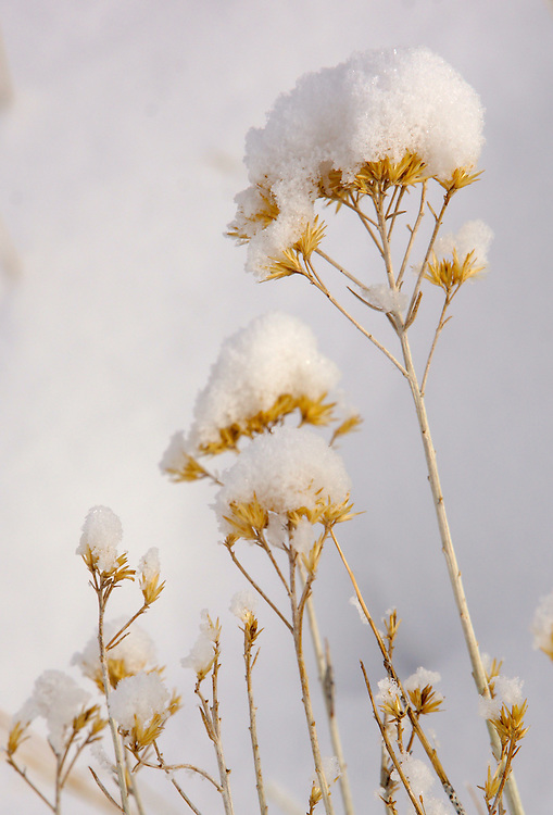 Winter snow on winter plant
